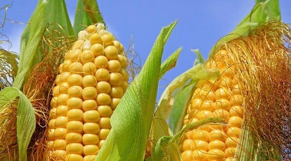 filemanto pla hecho de maiz